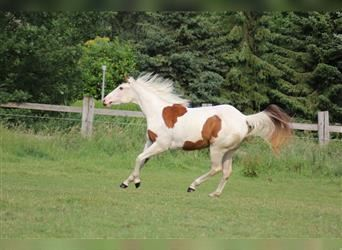 Paint Horse, Mare, 2 years, 14.3 hh, Tovero-all-colors