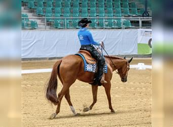 American Quarter Horse, Mare, 5 years, 15.2 hh, Chestnut-Red