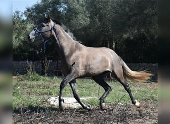 Andalusian, Mare, 3 years, 15.1 hh, Gray-Red-Tan