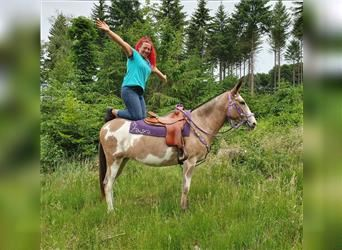 Mule, Mare, 12 years, 14.3 hh, Overo-all-colors