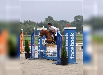 Welsh C (of Cob Type), Mare, 6 years, 12.2 hh, Chestnut-Red