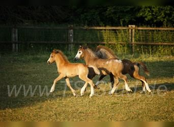 Welsh A (Mountain Pony), Stallion, Foal (05/2021), 11.2 hh, Gray