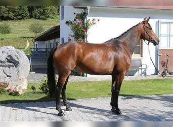 Hanoverian, Mare, 7 years, 16.2 hh, Brown