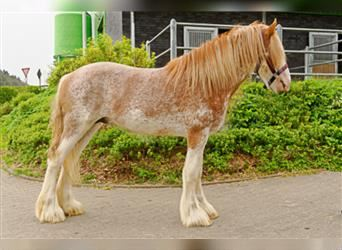 Clydesdale, Gelding, 6 years, 17.1 hh, Roan-Bay