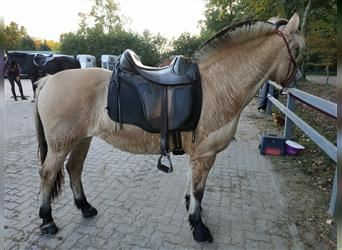 Fjord Horses, Mare, 12 years, 14.1 hh, Dun