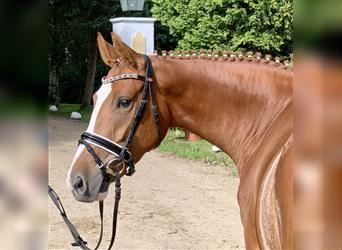 German Riding Pony, Mare, 4 years, 15.1 hh, Chestnut-Red
