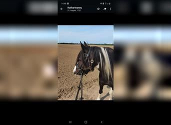 Other Breeds, Gelding, 6 years, 13 hh, Pinto