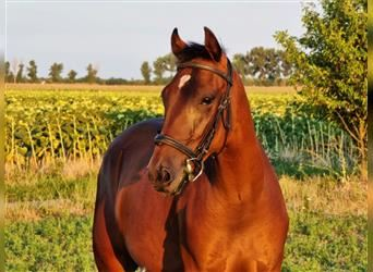 Hungarian Sport Horse, Mare, 3 years, 15.1 hh, Brown