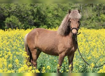 Icelandic Horse, Mare, 7 years, 12.2 hh, Tovero-all-colors