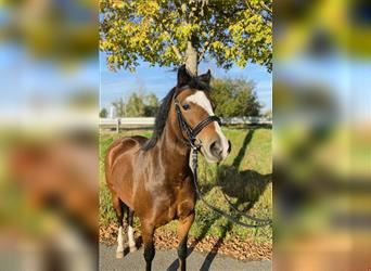 New Forest Pony, Mare, 5 years, 12.1 hh, Brown