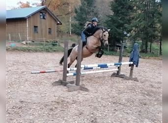 More ponies/small horses, Mare, 4 years, 15 hh, Buckskin