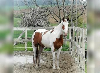 Paint Horse Mix, Gelding, 9 years, 15.2 hh, Tovero-all-colors
