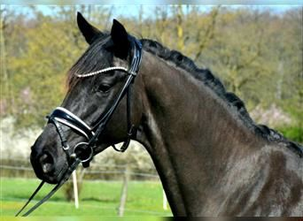 KWPN, Mare, 5 years, 16.1 hh, Black