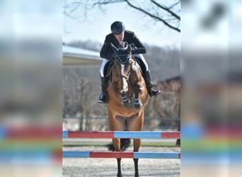 Hanoverian, Mare, 9 years, 16.1 hh, Brown