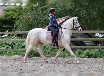 Andalusier, Stute, 13 Jahre, 160 cm, Champagne