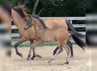 Andalusian, Gelding, 1 year