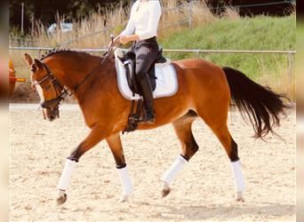 NRPS, Mare, 11 years, 14 hh, Brown