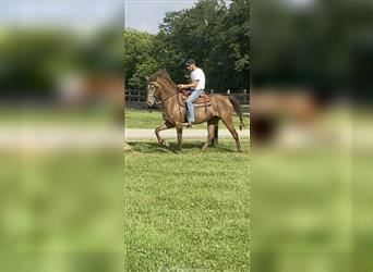 Rocky Mountain Horse, Mare, 4 years, 14.2 hh, Brown