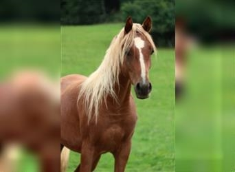 Straight Egyptian, Mare, 2 years, 14.3 hh, Chestnut-Red
