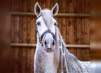 Andalusian, Stallion, 5 years, 17 hh, Gray