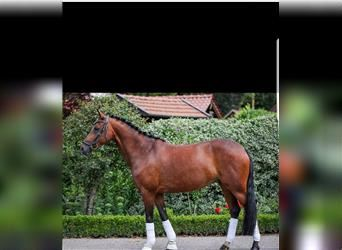 German Riding Pony, Mare, 8 years, 14.2 hh, Brown