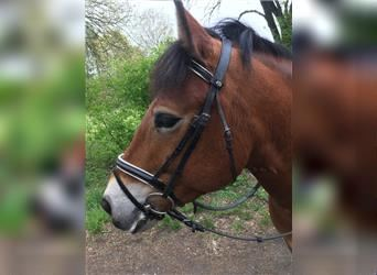 More ponies/small horses Mix, Mare, 8 years, 14.1 hh, Brown