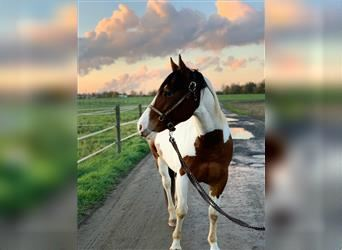 Appaloosa Mix, Gelding, 9 years, 14.2 hh, Overo-all-colors