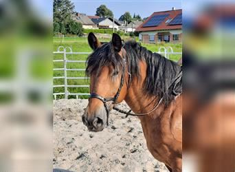 More ponies/small horses, Mare, 6 years, 15.1 hh, Brown
