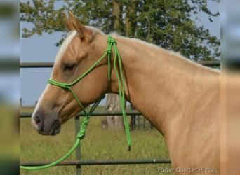 Paint Horse, Stallone, 1 Anno, 147 cm, Palomino