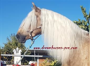 Andalusier Mix, Hengst, 6 Jahre, 161 cm, Palomino