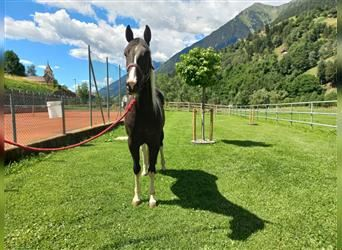 Paint Horse, Mare, 3 years, 15 hh, Tobiano-all-colors