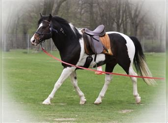 Mustang (american), Stallion, 18 years, 14.2 hh, Pinto