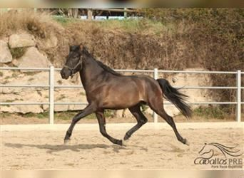 Andalusier, Hengst, 3 Jahre, 157 cm, Rappe