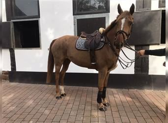 German Sport Horse, Mare, 13 years, 15.3 hh, Chestnut-Red