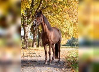 Andalusian, Gelding, 3 years, 15.2 hh, Chestnut-Red