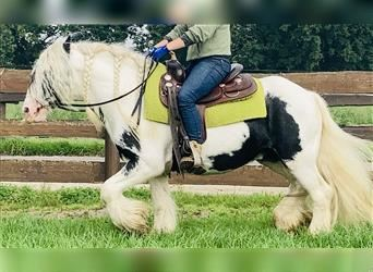 Gypsy Horse, Gelding, 7 years, 13.3 hh, Pinto