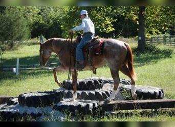 American Quarter Horse, Gelding, 4 years, 15.1 hh, Roan-Red