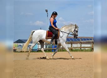 Andalusian, Gelding, 13 years, 15.2 hh, Gray