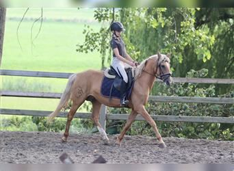 Andaluces, Yegua, 11 años, 155 cm, Palomino