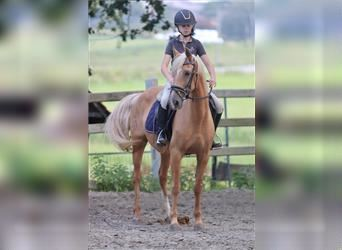 Andalusian, Mare, 11 years, 15.1 hh, Palomino