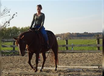 Curly horse, Mare, 9 years, Chestnut