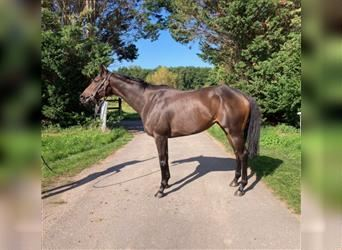English Thoroughbred, Mare, 7 years, 16 hh, Brown