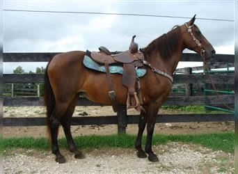 Kentucky Mountain Saddle Horse, Mare, 12 years, 14.2 hh
