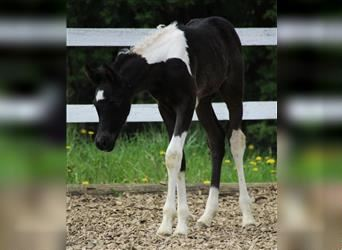 Arabian Partbred, Stallion, 5 years, 16 hh, Tobiano-all-colors