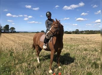 Curly horse, Mare, 5 years, Chestnut-Red