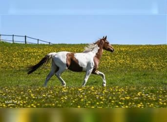 Pintos Mix, Mare, 4 years, 15.2 hh, Pinto