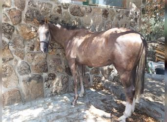 Anglo-Arab, Gelding, 2 years, 16 hh, Gray