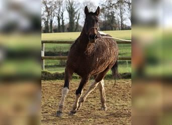 Cheval Curly, Jument, 4 Ans, 155 cm, Tobiano-toutes couleurs