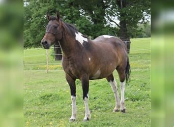 Curly horse, Mare, 4 years, 15.1 hh, Tobiano-all-colors