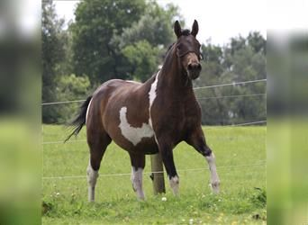 Curly Horse, Stute, 4 Jahre, 155 cm, Tobiano-alle-Farben